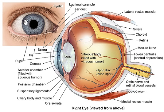 Eye anatomy lens