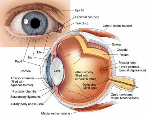 Eye-Anatomy jpgAnterior And Posterior Segment Of The Eye