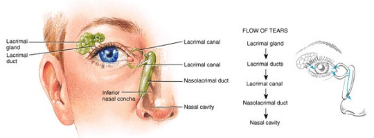 Eye anatomy and how the eye works when you blink the tears are distributed throughout the eye surface the tears are then drained through the punctum lacrimal canaliculi nasolacrimal sac ccuart Choice Image